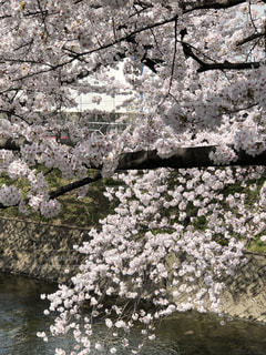 桜と川1の写真・画像素材[1124996]
