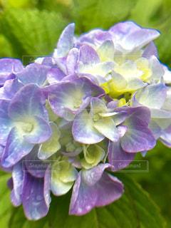 近くに紫の花のアップの写真・画像素材[1199386]