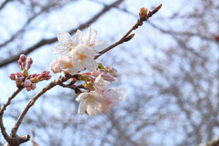 花とつぼみの写真・画像素材[1125560]