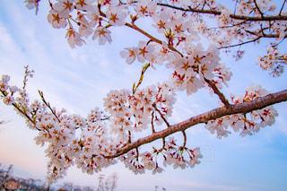 桜の写真・画像素材[1875280]