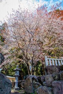 桜の写真・画像素材[1875282]
