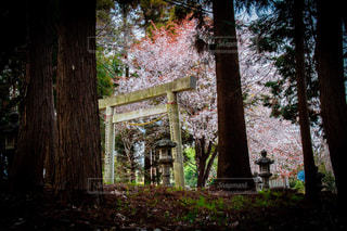 鳥居と桜の写真・画像素材[1875757]