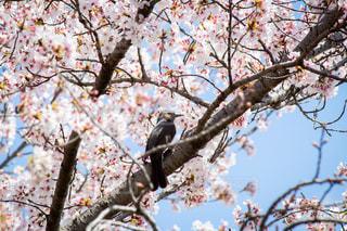 桜と小鳥2の写真・画像素材[2010409]