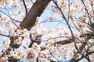 桜と小鳥の写真・画像素材[2010412]