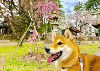 桜とともに成長するしば犬🐕🌸の写真・画像素材[1130633]