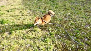 しば犬全力疾走🐕🌀の写真・画像素材[1133905]