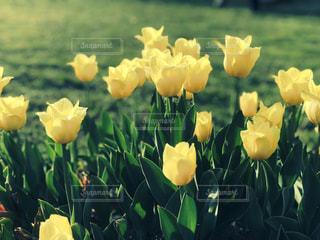 黄色い花 - No.1126553