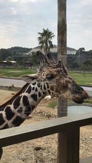 動物園でキリンのアップの写真・画像素材[1126882]