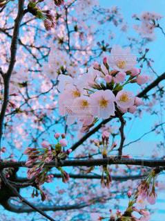 木の枝に花の花瓶の写真・画像素材[1127096]