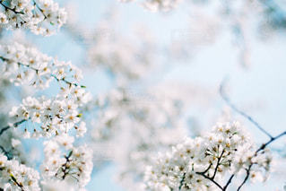 桜の写真・画像素材[1127638]