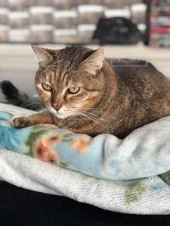 毛布の上に横になっている猫の写真・画像素材[1128190]