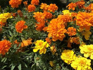 近くの花のアップの写真・画像素材[1130429]