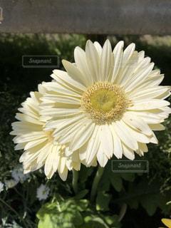 白いガーベラの写真・画像素材[1130451]
