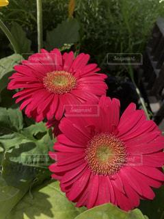 濃いピンクのガーベラの写真・画像素材[1130452]
