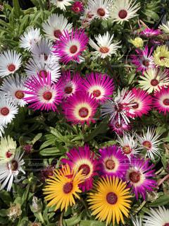 紫の花のグループの写真・画像素材[1130473]