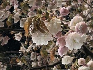 八重桜の花の写真・画像素材[1134525]