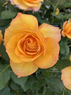 近くの花のアップの写真・画像素材[1137142]