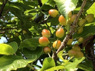 近くに果物の木からぶら下がってアップの写真・画像素材[1137680]