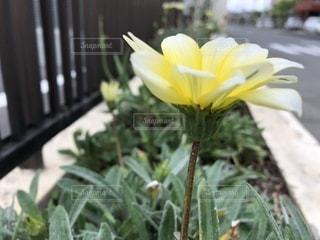 黄色の花の写真・画像素材[1144569]