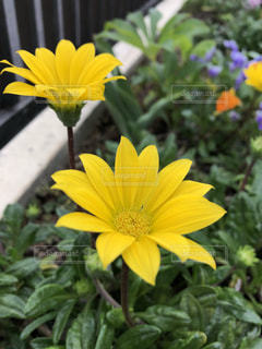 黄色の花の写真・画像素材[1144575]