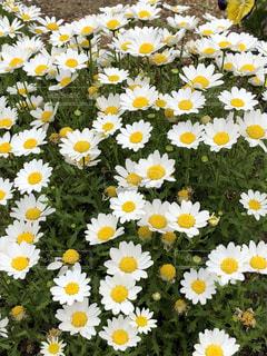 植物の花に白と黄色の米の写真・画像素材[1144582]