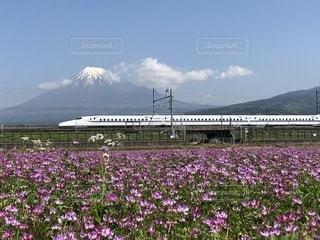蓮華畑と富士山の写真・画像素材[1151201]