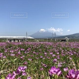 蓮華と富士山の写真・画像素材[1151202]