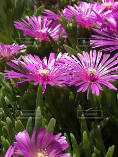 近くに紫の花の房のアップの写真・画像素材[1151226]