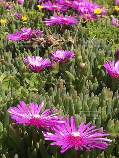 近くに紫の花のアップの写真・画像素材[1151400]