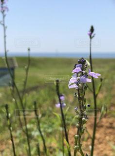 紫色の花と海 - No.1151431