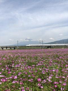 大きな紫色の花は、フィールドの真ん中に立っています。の写真・画像素材[1154217]
