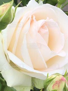 近くの花のアップの写真・画像素材[1190619]