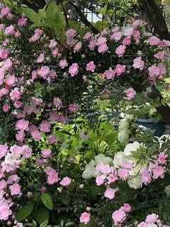 植物にピンクの花の写真・画像素材[1197160]