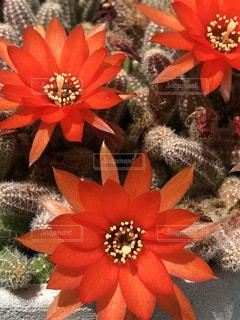 赤いサボテンの花の写真・画像素材[1204266]