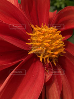 赤と黄色の花の写真・画像素材[1211451]
