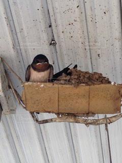 ツバメの巣の写真・画像素材[1128757]