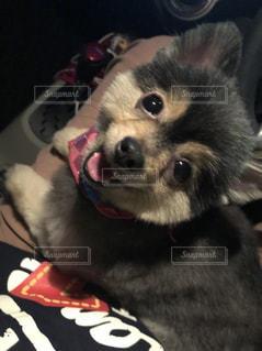 うちの愛犬  モカの写真・画像素材[1210251]