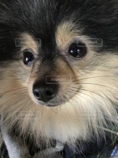 カメラを見て茶色と白犬の写真・画像素材[1213162]