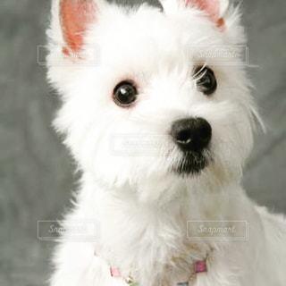 カメラを見て小さな白い犬 - No.1129257