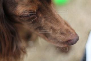 近くにカメラを見て犬のアップの写真・画像素材[1129915]