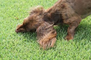 緑の草の上に横たわる犬の写真・画像素材[1131767]