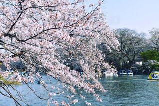 桜と池の写真・画像素材[1129662]