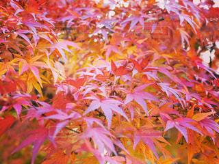 真っ赤な紅葉の写真・画像素材[1198475]