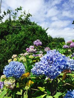紫陽花たちの写真・画像素材[1198518]