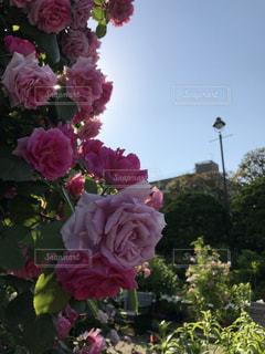 薔薇と建物の写真・画像素材[1198520]