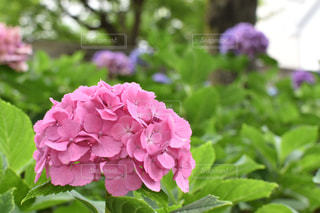 ピンクの紫陽花の写真・画像素材[1198521]