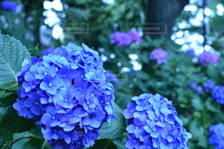 青の紫陽花の写真・画像素材[1198522]