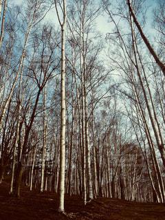 白樺林 北海道小樽市小樽公園の写真・画像素材[1141210]