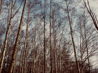 白樺林 北海道小樽市小樽公園の写真・画像素材[1141211]