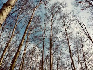 白樺林 北海道小樽市小樽公園の写真・画像素材[1141212]